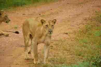 Safari Löwin