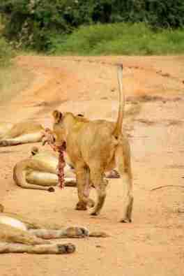 Safari Löwin mit Antilopenkopf