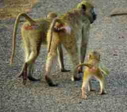 Safari Monkeys