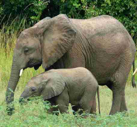 Safari Babyelefant