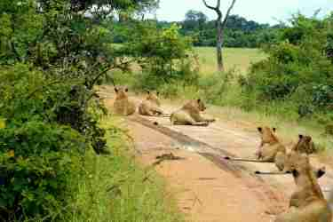 Safari Löwenrudel
