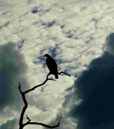 Safari Adler