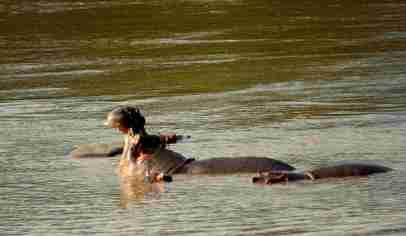 Safari Nilpferd