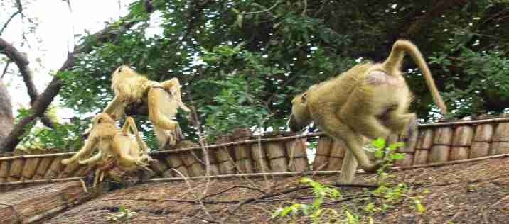 Safari Monkeys Flug